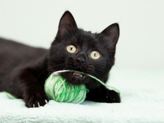 Отдам в дар: Маленькая Баги котенок-егоза в добрые руки фото3