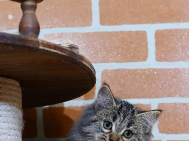 Продаю: Сибирская кошечка предлагается к продаже фото2