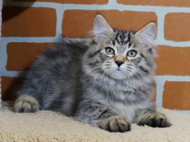 Продаю: Сибирский кот предлагается к продаже