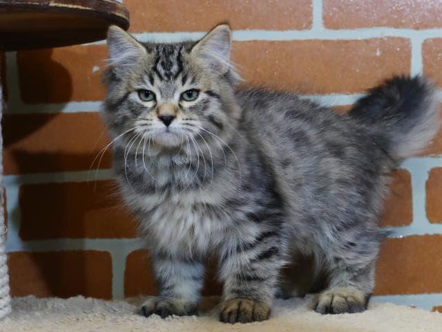 Продаю: Сибирский кот предлагается к продаже фото2