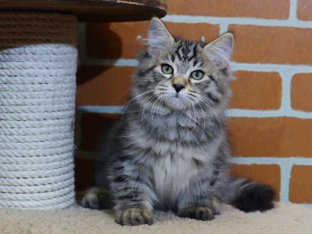 Продаю: Сибирский кот предлагается к продаже фото3