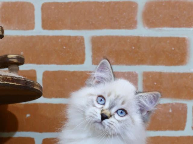 Продаю: Невский маскарадный кот предлагается к продаже