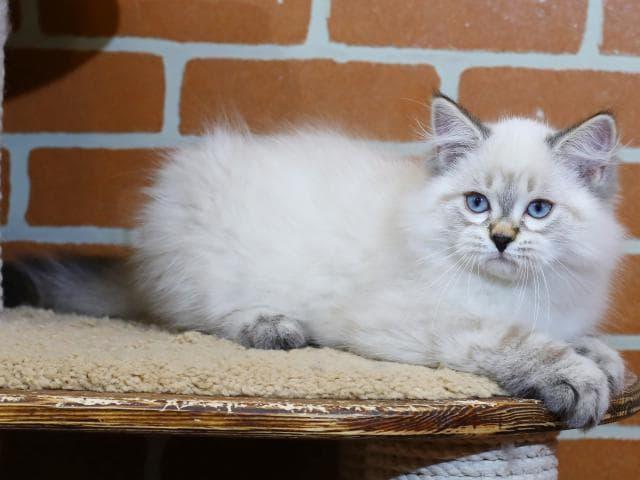 Продаю: Невский маскарадный кот предлагается к продаже фото2