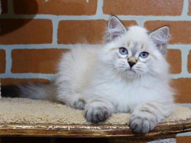 Продаю: Невский маскарадный кот предлагается к продаже фото3