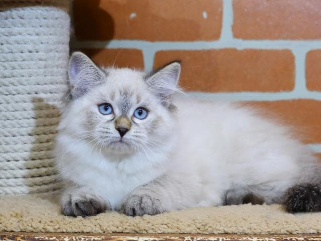 Продаю: Невская маскарадная кошка предлагается к продаже
