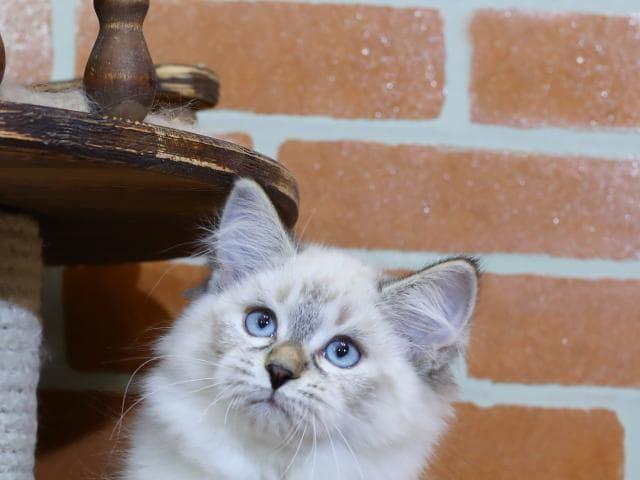 Продаю: Невская маскарадная кошка предлагается к продаже фото2