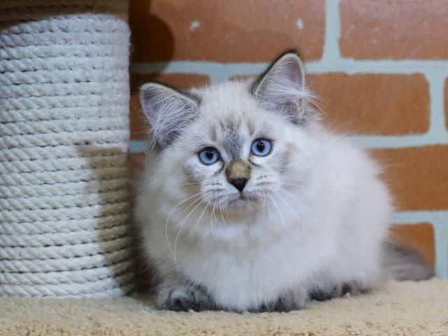 Продаю: Невская маскарадная кошка предлагается к продаже фото3