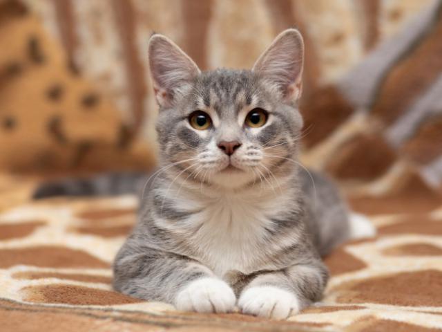 Отдам в дар: Озорной котенок Степка в добрые руки в дар
