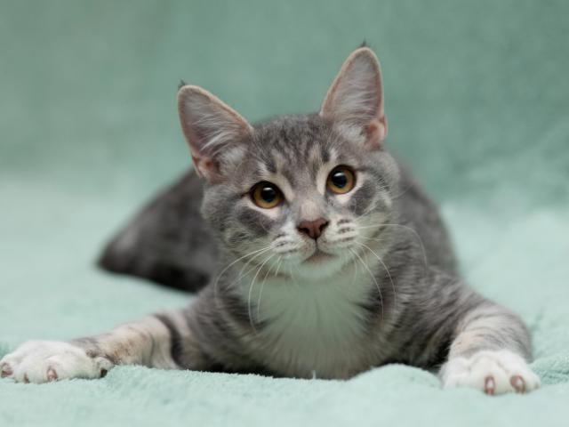 Отдам в дар: Озорной котенок Степка в добрые руки в дар фото2