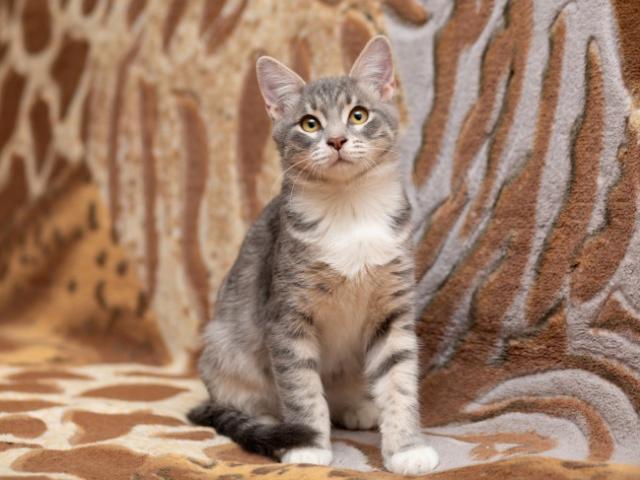 Отдам в дар: Озорной котенок Степка в добрые руки в дар фото3
