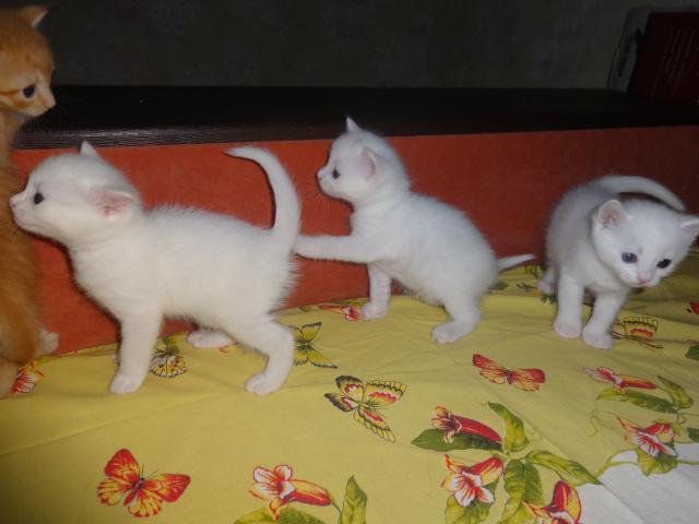 Продаю: резервирование необычных котят фото2