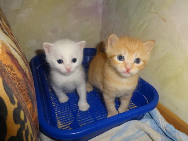 Продаю: резервирование необычных котят фото3
