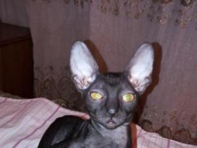 Продаю: Котята корниш рекс фото3