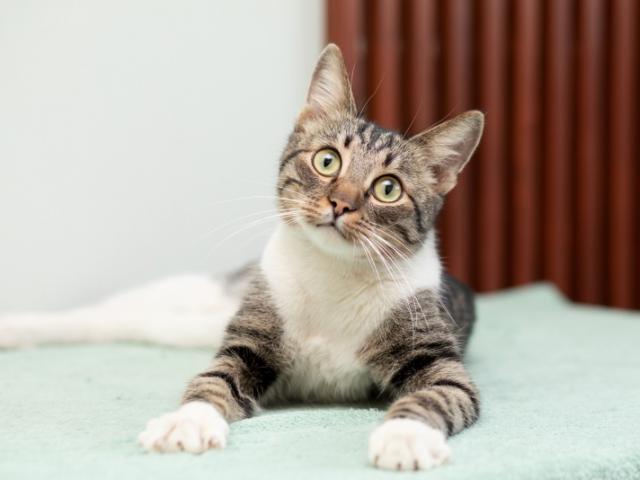 Отдам в дар: Ласковый котик Брюс в добрые руки в дар фото2