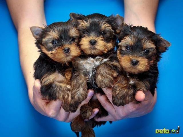 Вязка: Предлагаю услуги инструктора по вязке/случке собак всех пород в Тюмени