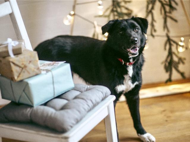 Отдам в дар: Чудесная собака Гретта в добрые руки фото2