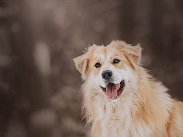 Отдам в дар: Шикарный пёс Нортон в добрые руки