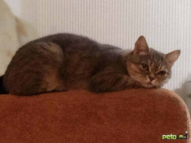 Вязка: Ищу кота для вязки фото2