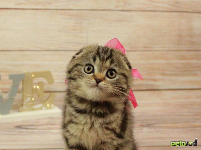 Продаю:  очаровательных шотландских котят