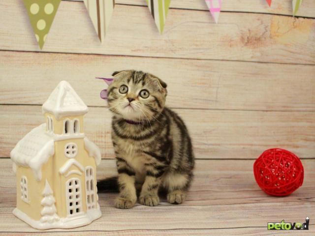 Продаю:  очаровательных шотландских котят фото2