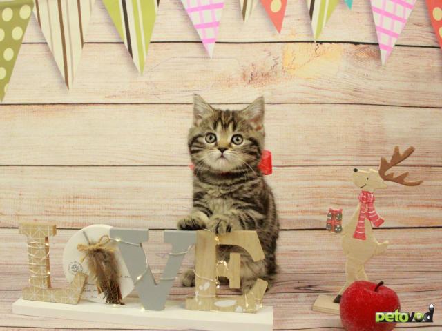 Продаю:  очаровательных шотландских котят фото3