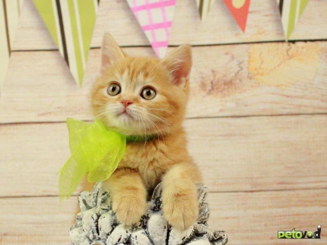 Продаю:  очаровательных шотландских котят фото4