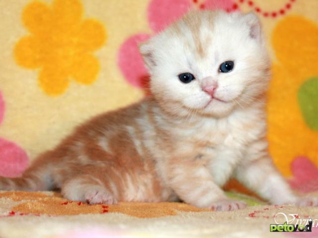 Продаю: Британский клубный котик красный мрамор