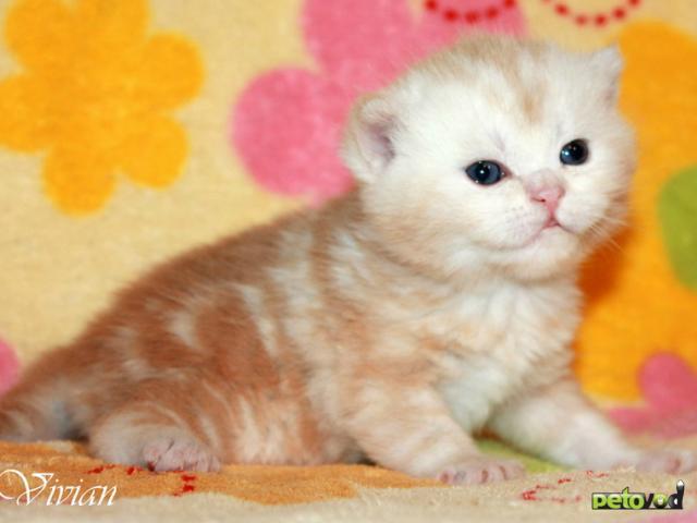 Продаю: Британский клубный котик красный мрамор фото2