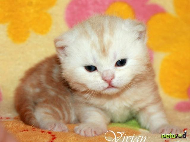Продаю: Британский клубный котик красный мрамор фото3