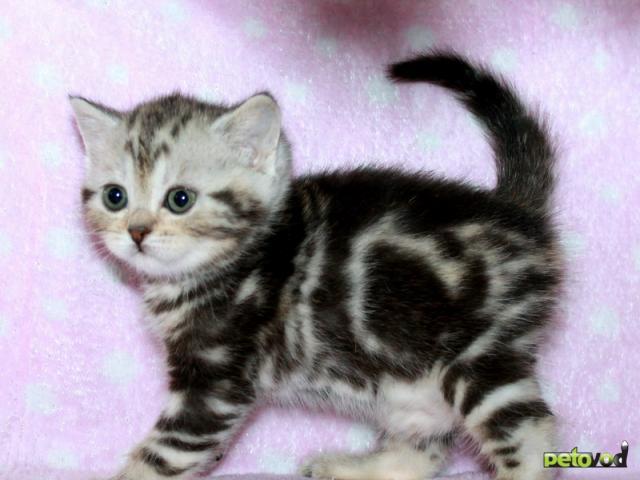 Продаю: Британские котята вискас