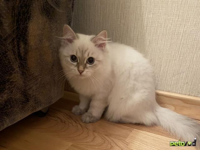 Продаю: Котята Невский маскарад