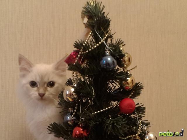 Продаю: Котята Невский маскарад фото2