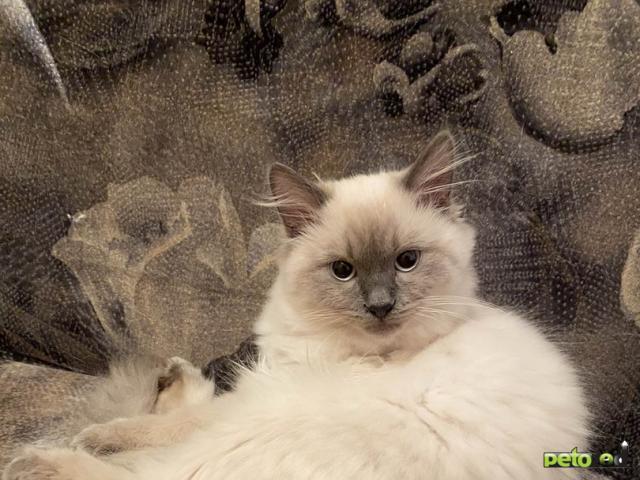 Продаю: Котята Невский маскарад фото3