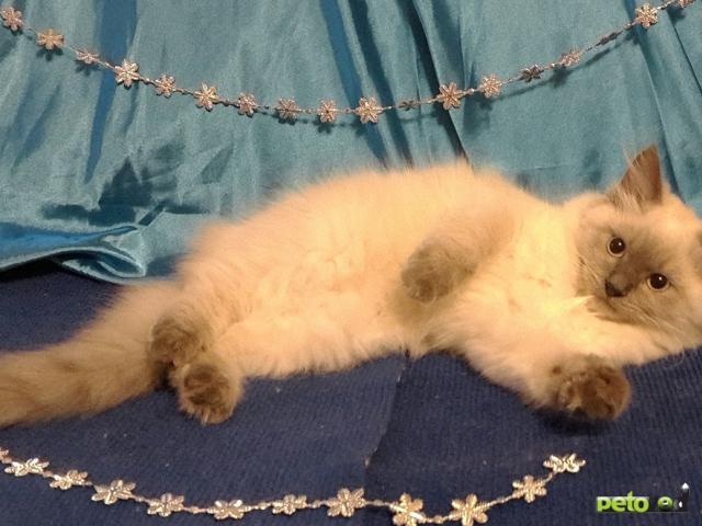 Продаю: Котята Невский маскарад фото4