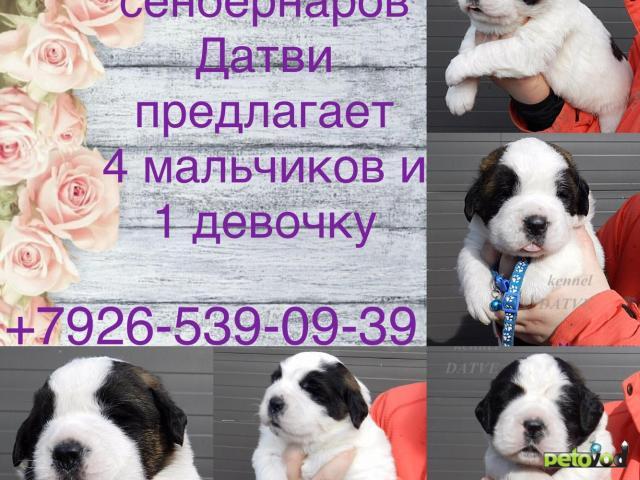 Продаю: щенки Сенбернара