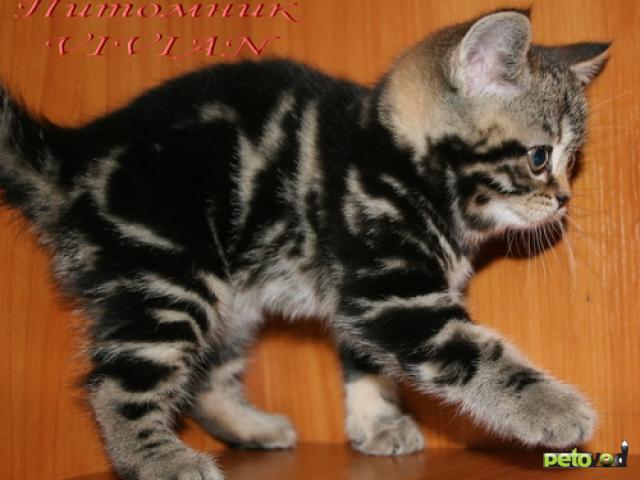 Продаю: Британские котята черный мрамор