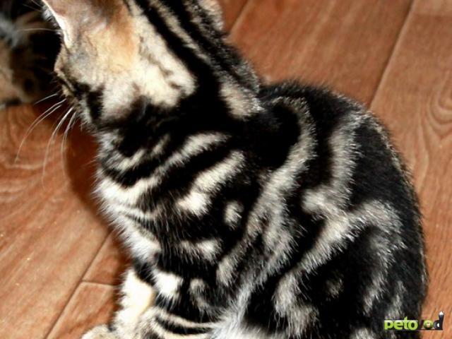 Продаю: Британские котята черный мрамор фото2