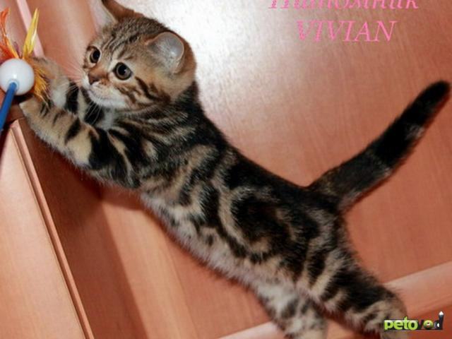 Продаю: Британские котята черный мрамор фото3