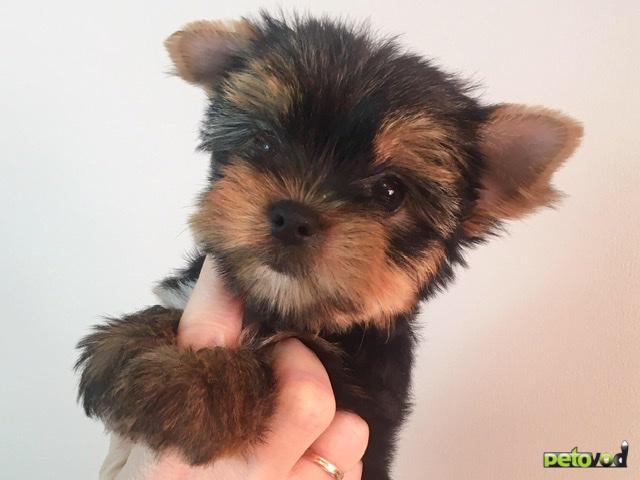 Продаю: Йоркширского терьера щенки  фото3