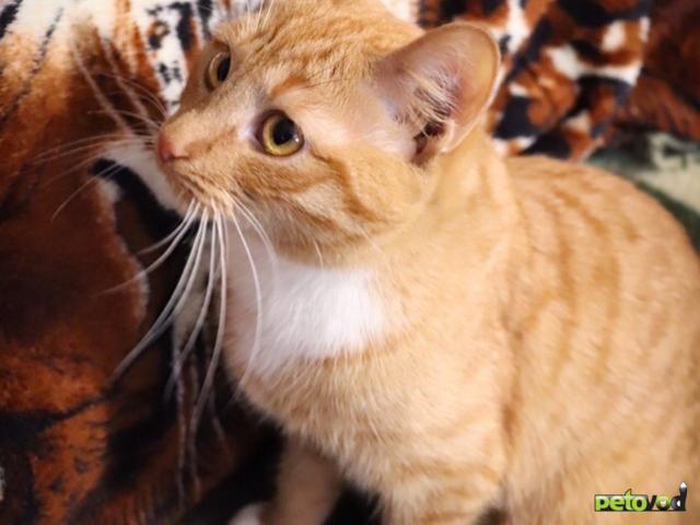 Продаю: Рыжая кошечка Тася ищет дом  фото2