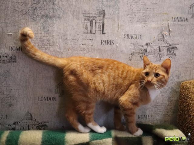 Продаю: Рыжая кошечка Тася ищет дом  фото3