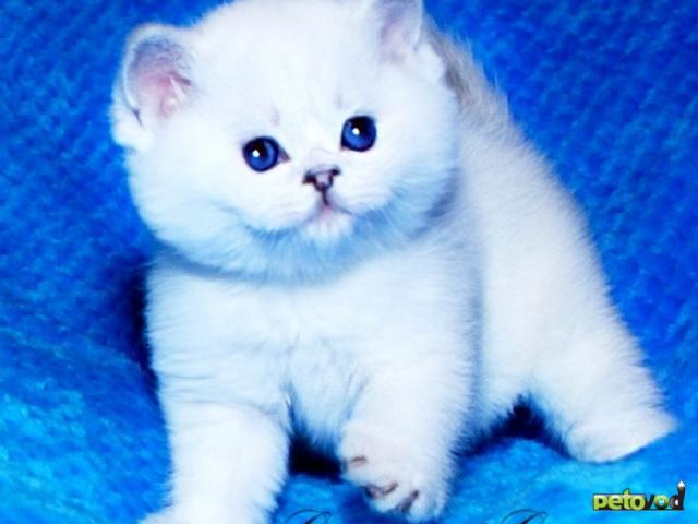 Продаю: Британская шиншилла котята с голубыми глазками фото2