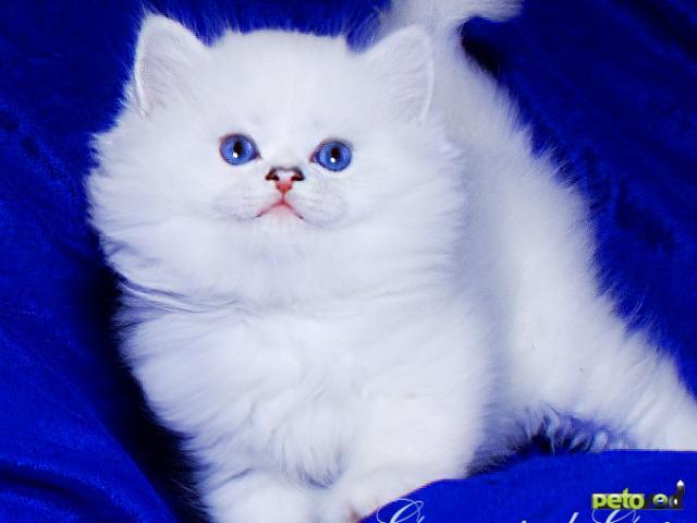 Продаю: Британская шиншилла котята с голубыми глазками фото3