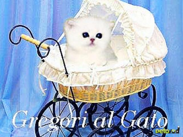 Продаю: Британская шиншилла котята с голубыми глазками фото4