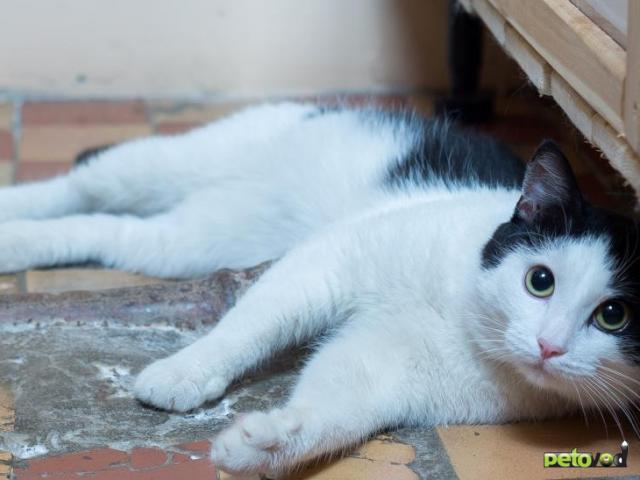 Продаю: Ласковый котик Анатоль ищет дом  фото3