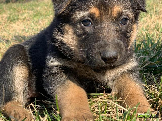 Продаю:      щенков,помесь немецкой овчарки