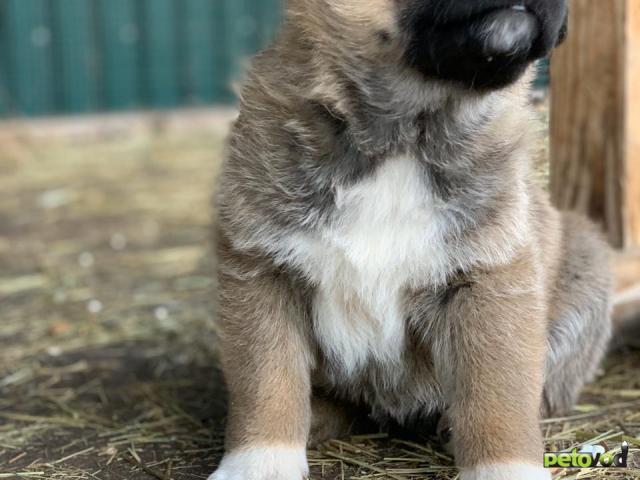 Продаю:      щенков,помесь немецкой овчарки  фото2