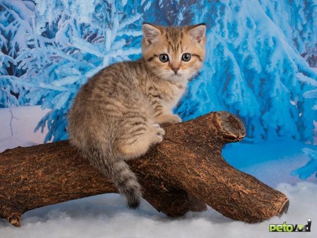 Продаю: Британские котята фото3