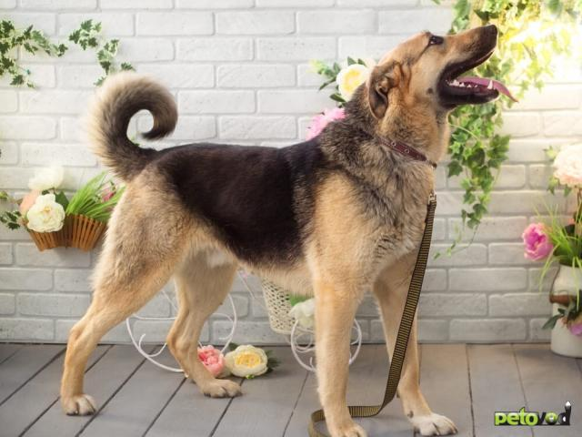 Отдам в дар: Нежнейший пес интеллигент Джек очень хочет быть домашним фото2