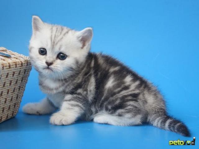 Продаю: Шотландские мраморные котята